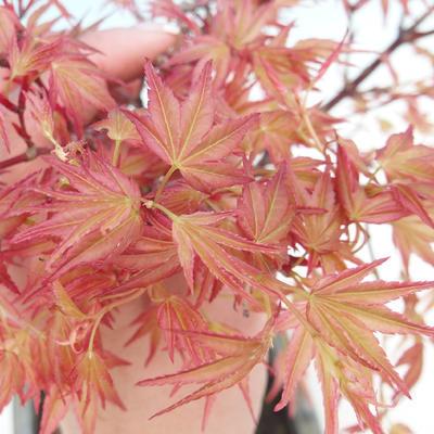 Venkovní bonsai - Acer palmatum Beni Tsucasa - Javor dlanitolistý - 1