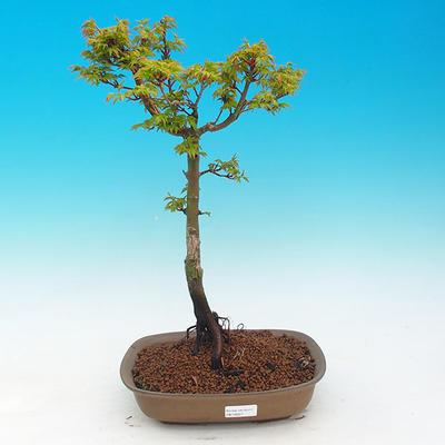 Venkovní bonsai -Javor malolistý SHISHIGASHIRA VB13557