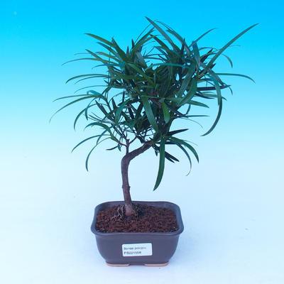 Venkovní bonsai -Javor malolistý SHISHIGASHIRA VB13558