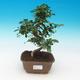 Venkovní bonsai -Japonská meruňka - Prunus Mume - 1/6