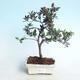 Venkovní bonsai - Rhododendron sp. - Azalka růžová - 1/4