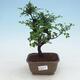 Pokojová bonsai - Ulmus parvifolia - Malolistý jilm - 1/3
