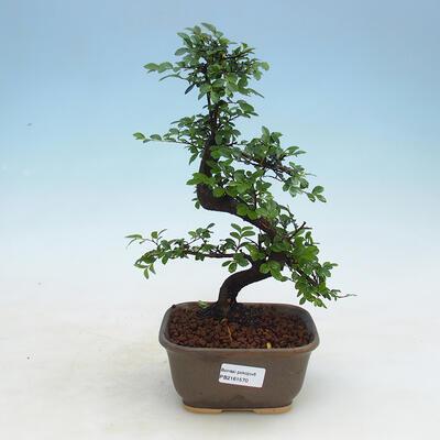 Izbová bonsai - Ulmus parvifolia - Malolistý jilm - 1