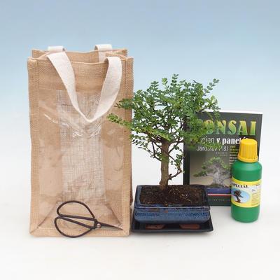 Pokojová bonsai v dárkové krabičce, Zantoxylum piperitum - Pepřovník