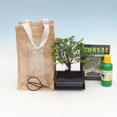 Pokojová bonsai v dárkové krabičce, Sagerecie čajová - Sageretia thea