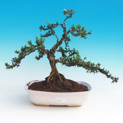 Pokojová bonsai - Buxus harlandii - 1