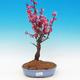 Venkovní bonsai -Japonská meruňka - Prunus Mume - 1/5