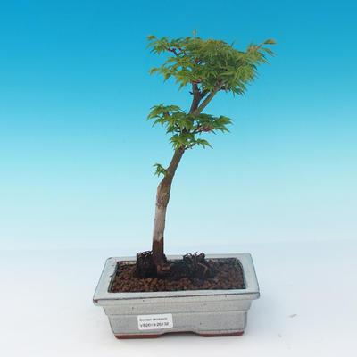 Venkovní bonsai - Acer palmatum SHISHIGASHIRA- Javor malolistý - 1