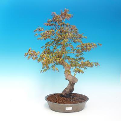 Venkovní bonsai - Acer pamnatum -Javor dlanitolistý - 1