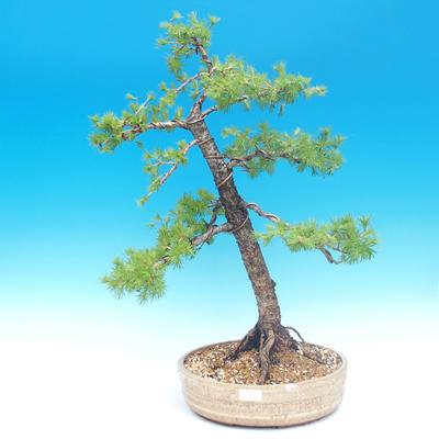 Venkovní bonsai - Larix decidua - Modřín opadavý - 1