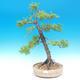 Venkovní bonsai - Larix decidua - Modřín opadavý - 1/2