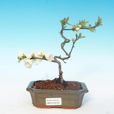 Venkovní bonsai - Chaenomeles superba jet trail -Kdoulovec bílý - 1