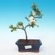 Venkovní bonsai - Chaenomeles superba jet trail -Kdoulovec bílý - 1/3