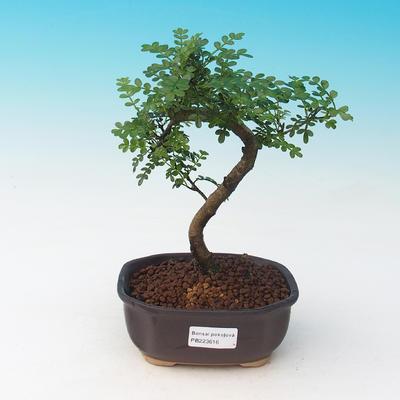 Vonkajšie bonsai - Pamodřín VB13616 - 1