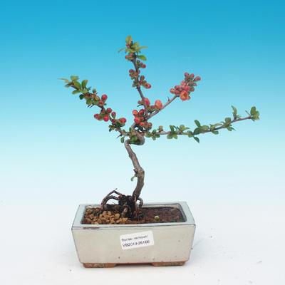 Venkovní bonsai - Chaneomeles japonica - Kdoulovec japonský - 1