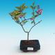 Venkovní bonsai - Syringa velutina josse Šeřík řůžový - 1/2