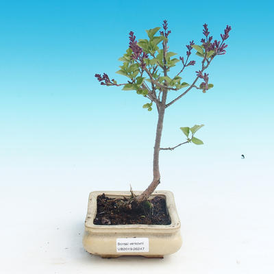 Venkovní bonsai - Syringa velutina josse Šeřík řůžový - 1