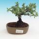 Venkovní bonsai-Mochna křovitá - Dasiphora fruticosa žlutá - 1/2