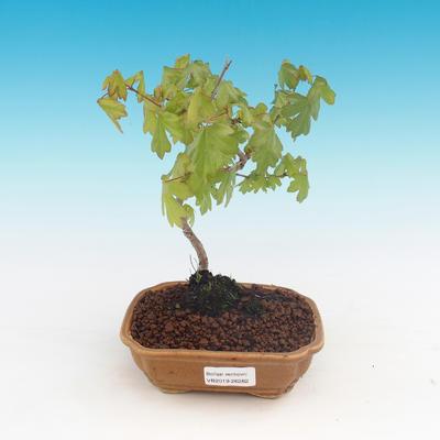 Venkovní bonsai-Acer campestre-Javor babyka