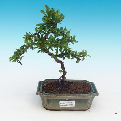 Venkovní bonsai-Pyracanta Teton -Hlohyně - 1