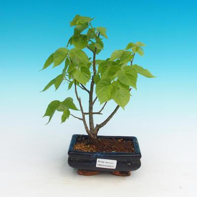 Venkovní bonsai - Lípa srdčitá