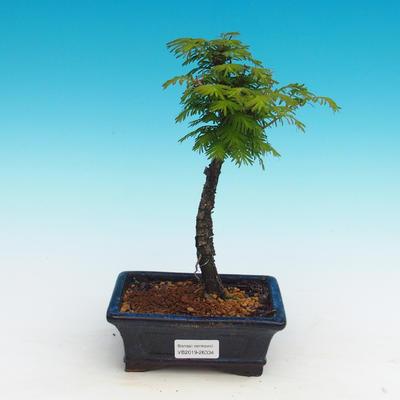 Venkovní bonsai - Tisovec dvouřadý - 1