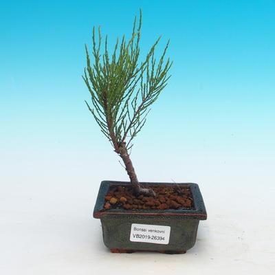 Vonkajšie bonsai - Tamaris parviflora Tamariška malolistá - 1