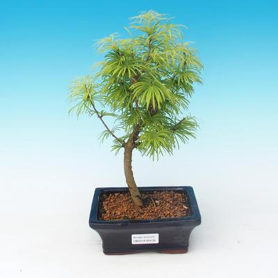 Vonkajšie bonsai - Pseudolarix amabilis - Pamodřín - 1