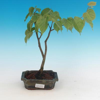 Venkovní bonsai - Lípa srdčitá - 1