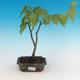Venkovní bonsai - Lípa srdčitá - 1/2