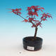 Vonkajšie bonsai - Javor palmatum DESHOJO - Javor dlaňolistý - 1/3