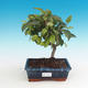 Venkovní bonsai -Malus halliana - Maloplodá jabloň - 1/4