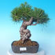 Pinus thunbergii - Borovice thunbergova - 1/5