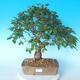 Venkovní bonsai -Carpinus CARPINOIDES - Habr korejský - 1/5
