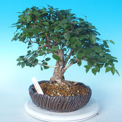 Venkovní bonsai -Carpinus CARPINOIDES - Habr korejský - 1
