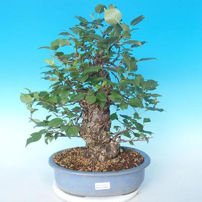 Venkovní bonsai - Japonská hrušeň NASHI - Pyrus pyrifolia - 1