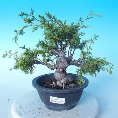 Venkovní bonsai - Juniperus chinensis ITOIGAWA - Jalovec čínský - 1