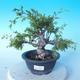 Venkovní bonsai - Juniperus chinensis ITOIGAWA - Jalovec čínský - 1/6