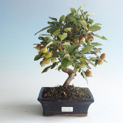 Vonkajšie bonsai - Malus halliana - Maloplodé jabloň 408-VB2019-26765 - 1