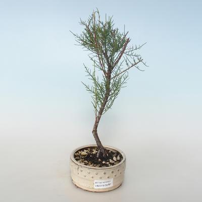 Vonkajšie bonsai - Tamaris parviflora Tamariška malolistá 408-VB2019-26797 - 1