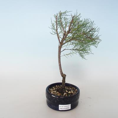 Vonkajšie bonsai - Tamaris parviflora Tamariška malolistá 408-VB2019-26802 - 1