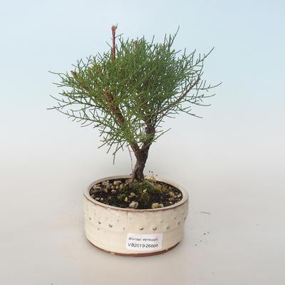 Vonkajšie bonsai - Tamaris parviflora Tamariška malolistá 408-VB2019-26804 - 1