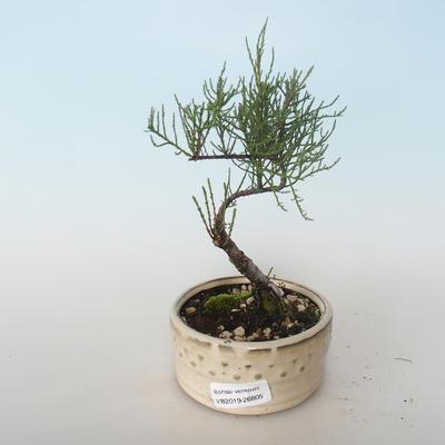 Vonkajšie bonsai - Tamaris parviflora Tamariška malolistá 408-VB2019-26805 - 1