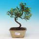 Izbová bonsai - Sagerécie thea - Sagerécie thea - 1/4