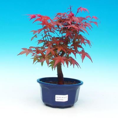Vonkajšie bonsai - Javor dlaňolistý - Acer palmatum DESHOJO