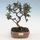 Pokojová bonsai - Olea europaea sylvestris -Oliva evropská drobnolistá - 1/5