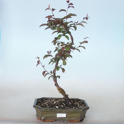 Vonkajšie bonsai - Prunus spinosa purpurea- Trnka červenolistá VB2020-766