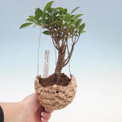 Kokedama v keramice - malolistý ficus - Ficus kimmen - 1