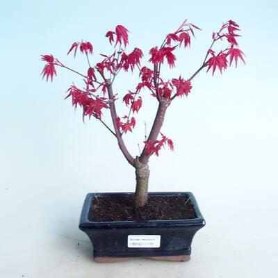 Venkovní bonsai - Javor palmatum DESHOJO - Javor dlanitolistý - 1
