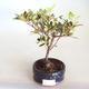 Venkovní bonsai - Rhododendron sp. - Azalka růžová VB2020-793 - 1/3